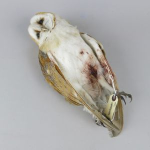 Barn Owl, as 'dead'