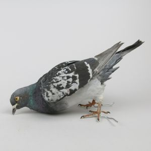 Feral Pigeon 2