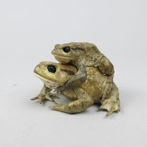 Common Toads, mating