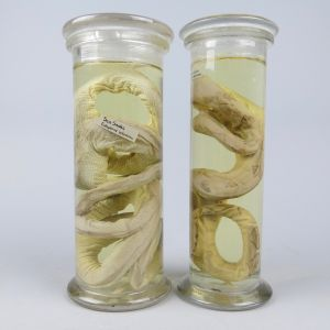 Pickled Sea snake & Constrictor