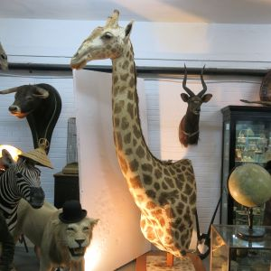 Giraffe shoulder mount 1