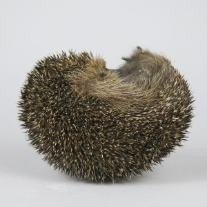 Hedgehog 3