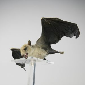 Egyptian Fruit Bat 3