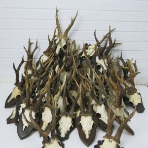 Roe Deer horns on shields