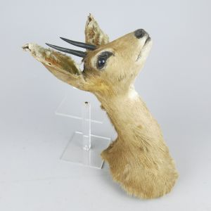 Steenbok head