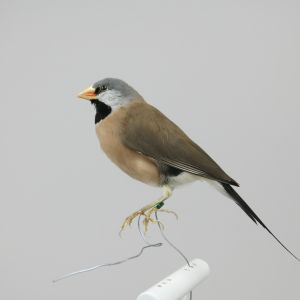 Pin Tailed Finch