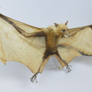Indian Fruit Bat 2