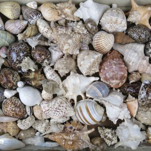 Quantity of sea shells