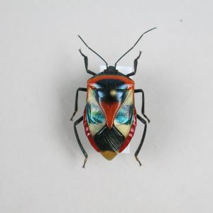 Beetle: Catacanthus nigripes
