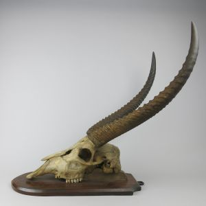 Waterbuck skull & horns on shield 3