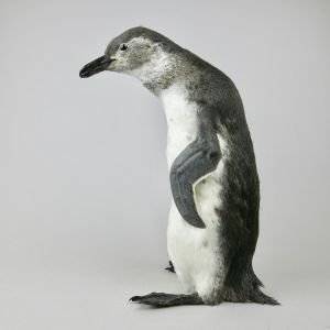 Magellanic Penguin 1