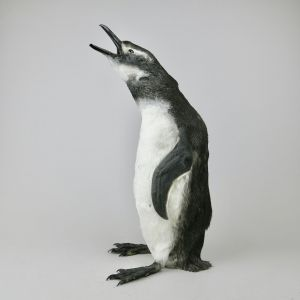 Magellanic Penguin 2