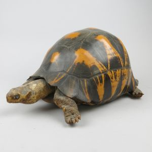 Antique Tortoise 2