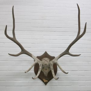 Stag Antlers (A)