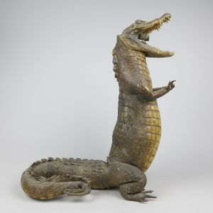 Crocodile standing, no.1