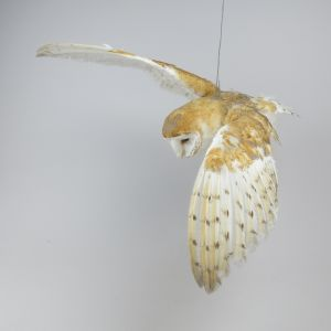 Barn Owl 3 (in flight)