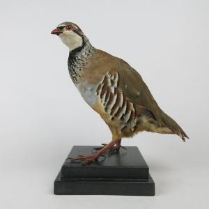 Red Leg (French) Partridge 2