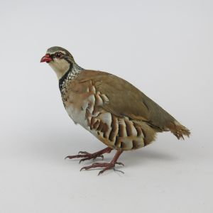 Red Leg (French) Partridge 1