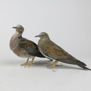 Pair of Turtle Doves (m&f)