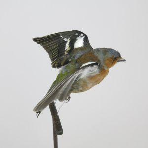 Chaffinch in flight 1