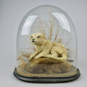 Glass dome with Lion Cub