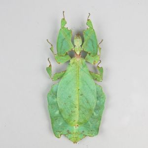 Leaf Insect 1 (large)