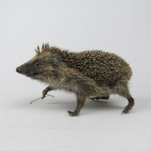 Hedgehog 2