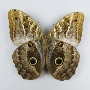 Caligo sp. 'Owl' butterfly