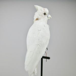 Solomon Cockatoo