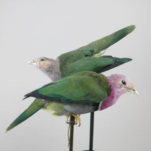Pink Headed Fruit Doves (m & f)