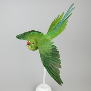 Green Ring Neck Parakeet