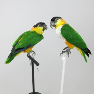 Black Headed Caique (x 2)