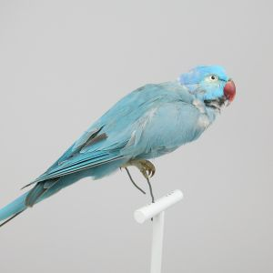 Blue Ring Neck Parakeet 2