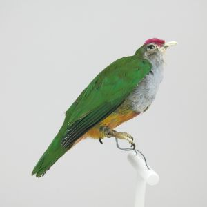 Coronated Fruit Dove