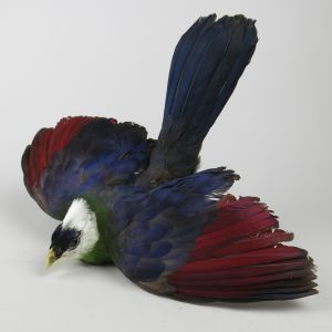 White Crested Turaco