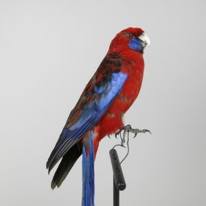 Pennants Crimson Rosella 1