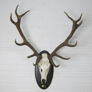 Stag Antlers (H)
