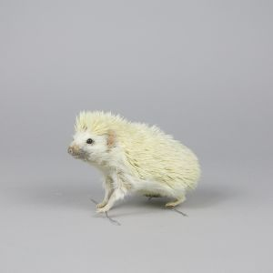 White Hedgehog