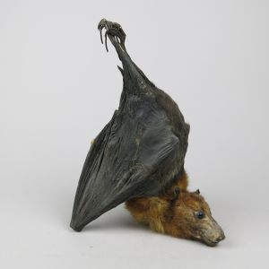 Indian Fruit Bat 1