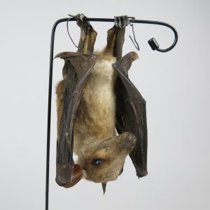 Egyptian Fruit Bat 2