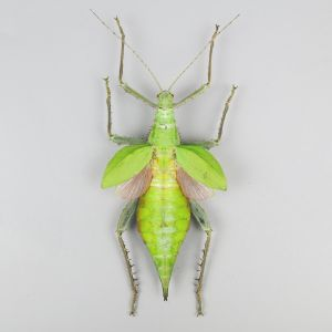 Jungle Nymph