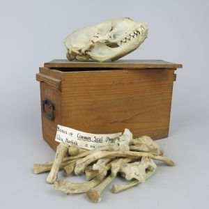 Common Seal skull 1