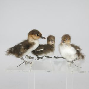 Merganser Ducklings x 3
