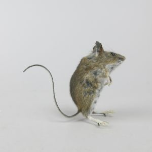 Mouse 10
