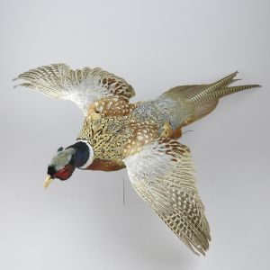Pheasant 1 (in flight)