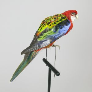 Golden Mantle Rosella 1