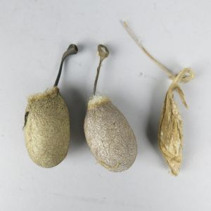 Moth cocoons