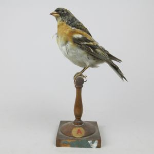 Brambling on perch