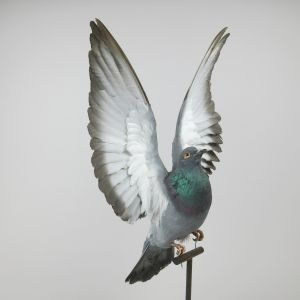 Feral Pigeon in flight