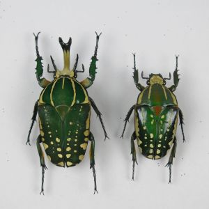 Beetles ref 1&2 (m&f)